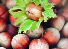Hazelnut of Giffoni IGP